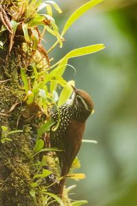 Pearled Treerunner - Papallacta, Ecuador