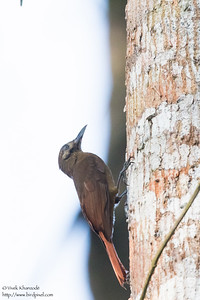 Plain-brown Woodcreeper - Gamboa, Colon, Panama
