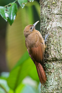 Plain-Brown Woodcreeper - Gilpin Trace, Tobago