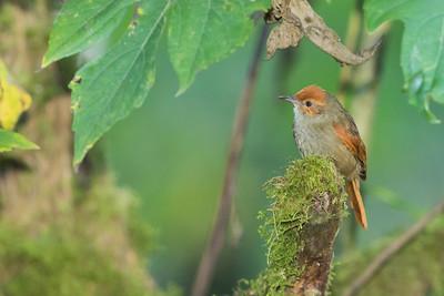 Red-faced Spinetail - Mindo, Ecuador