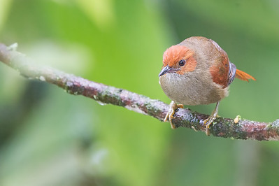 Red-faced Spinetail - Record - Mindo, Ecuador