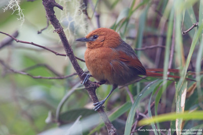 Rusty-headed Spinetail - El Dorado Lodge, Colombia