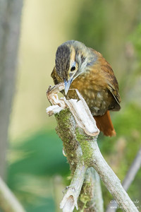 Scaly-throated Foliage-gleaner - Record - Mindo, Ecuador