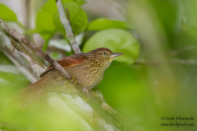 Speckled Spinetail - Record - Amazonia Lodge, Nr. Manu National Park, Peru