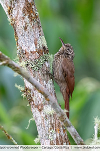 Spot-crowned Woodcreeper - Cartago, Costa Rica