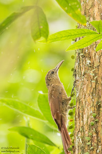 Straight-billed Woodcreeper - Amazon, Ecuador