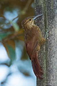 Strong-billed Woodcreeper - Mindo, Ecuador