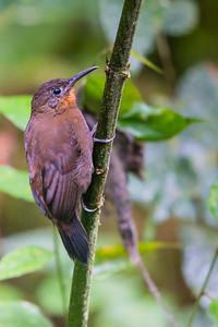 Tawny-throated Leaftosser - Record - Angel Paz de las Aves, Nr. Mindo, Ecuador