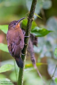 Tawny-throated Leaftosser - Angel Paz de las Aves - Nr. Mindo, Ecuador