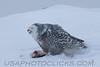 Snowy Owl (3196)