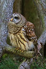 Barred Owl (b1542)
