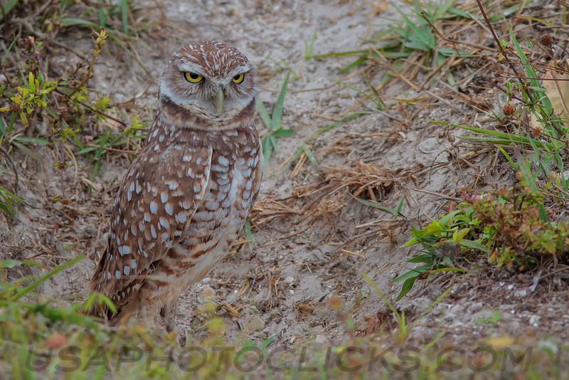 Burrowing Owl (b1552)