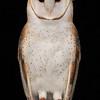 Barn Owl,Luna, posed at The Coachella Valley Wild Bird Center,Indio,CA.