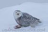 Snowy Owl (3195)