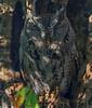 Eastern Screech Owl (b1562)