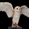 Barn Owl,Luna,  captured at The Coachella Valley Wild Bird Center,Indio,CA.