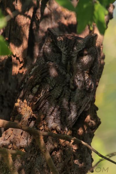 Eastern Screech Owl (b1563)