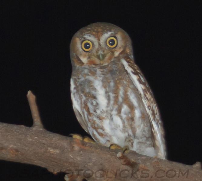 Elf Owl (b1571)