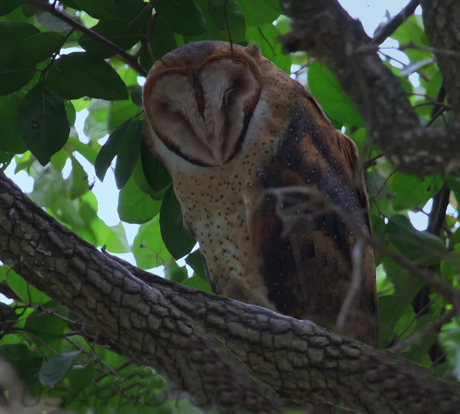Barn Owl (b1531)