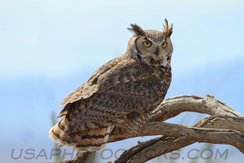 Great Horned Owl (b1584)