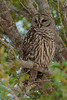 Barred Owl (b1543)
