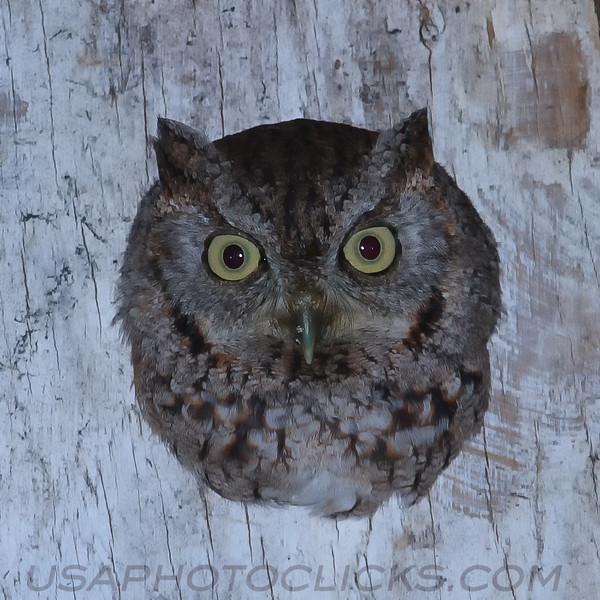 Eastern Screech Owl (b1561)