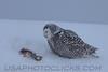 Snowy Owl (3192)