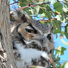 Great Horned Owl captured at The Coachella Valley Wild Bird Center,Indio,CA.