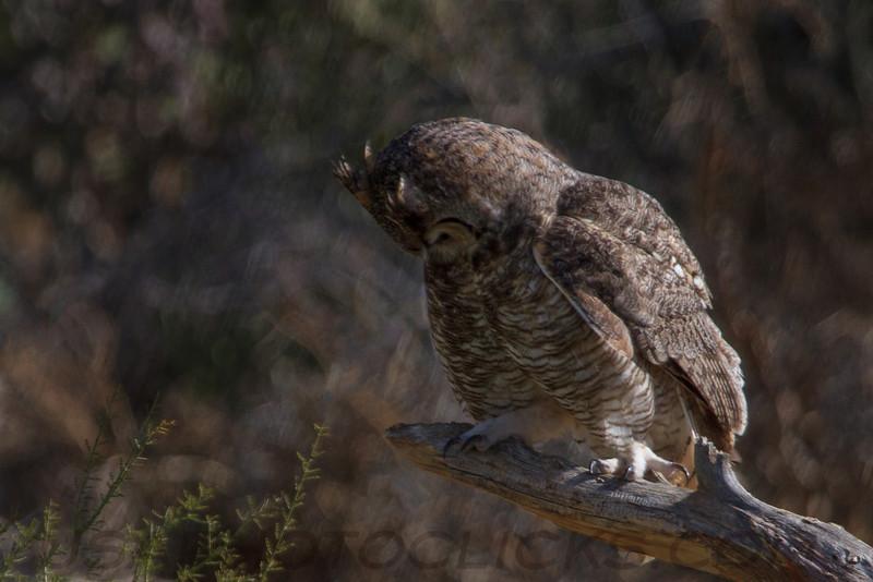 Great Horned Owl (b0582)