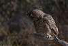 Great Horned Owl (b0582)