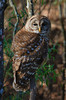 Barred Owl (b1541)