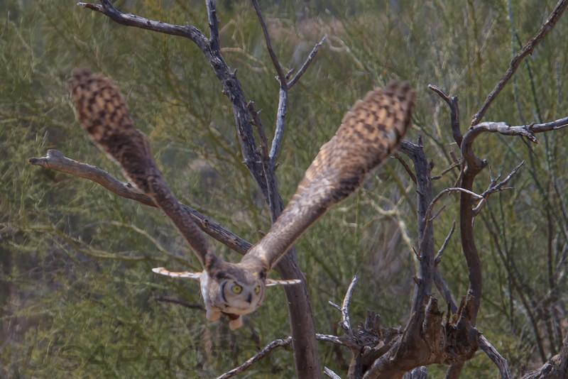 Great Horned Owl (b1585)