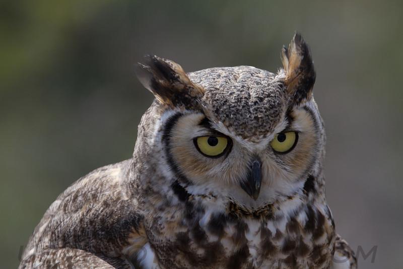 Great Horned Owl (b1586)
