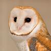 Barn Owl  captured at The Coachella Valley Wild Bird Center,Indio,CA.