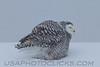 Snowy Owl (3198)