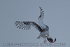 Snowy Owl (3197)
