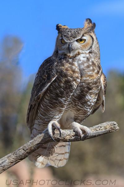 Great Horned Owl (b1583)