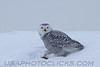 Snowy Owl (3199)