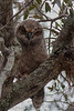 Great Horned Owl (b1587)