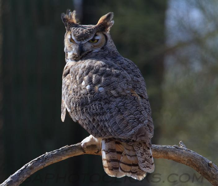 Great Horned Owl (b1581)
