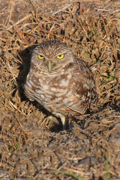 Burrowing Owl (b1553)