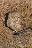 Burrowing Owl (b1553)