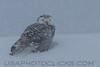 Snowy Owl (3200)