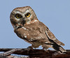Northern Saw Whit Owl (b1591)
