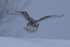 Snowy Owl (3193)