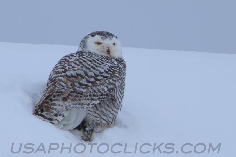 Snowy Owl (3191)
