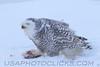 Snowy Owl (3194)