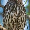 Barking Owl (Ninox connivens)
