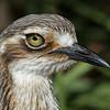 Bush Stone-curlew (Burhinus magnirostris)