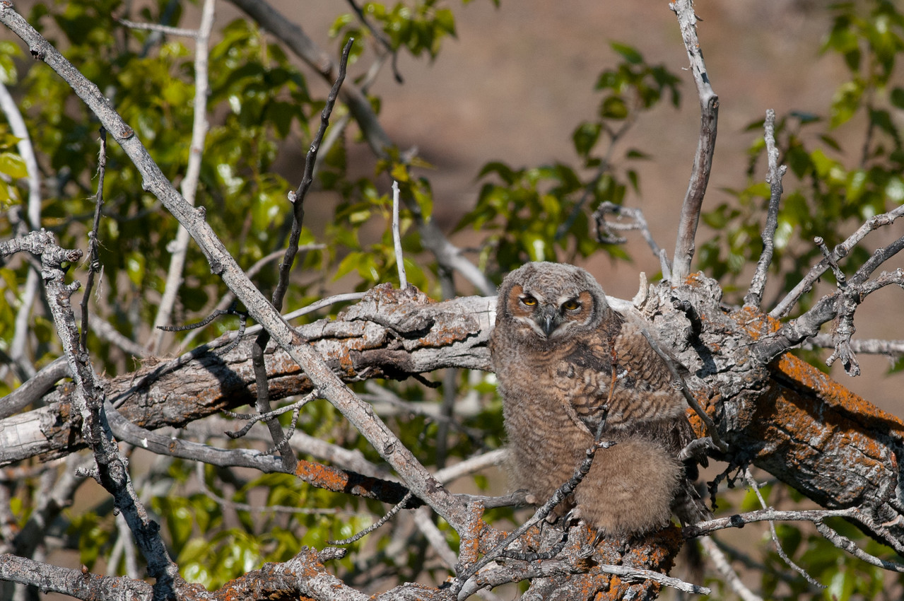 "Great Horned Owl - Juvenile has left nest and is now a ""Brancher"", looked after and fed by adults on branches near the nest."